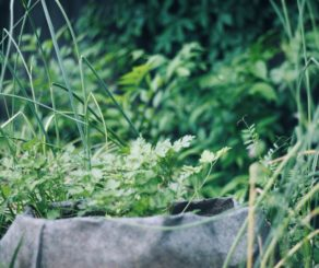 Organic Cilantro in garden